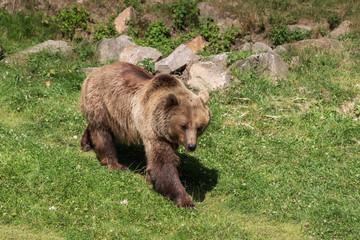 Braunbär geht über eine grüne Wiese. Ursus arctos
