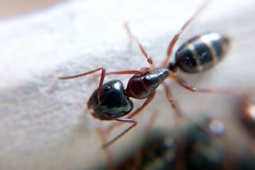 Ant macro blurred background, insect predator close-up in sunny summer weather