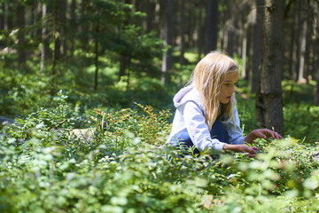 Child blond little girl picking fresh berries on blueberry field in forest. Child pick blue berry in the woods.