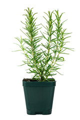Rosemary or Rosmarinus Herbs Plants Isolated on white background. Selective focus.