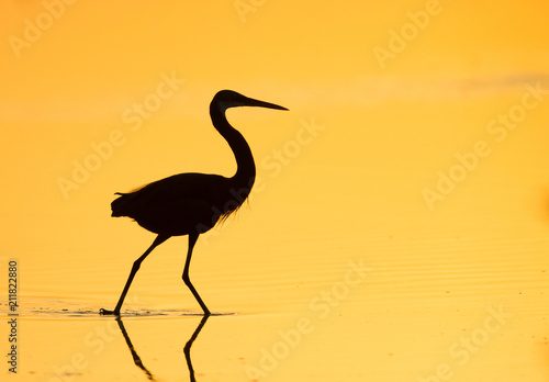 silhouette of western reef heron stock photo and royalty free