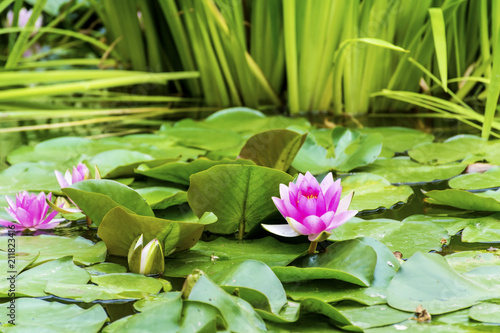 Pink Water Lily Flowers Background With Green Leaves