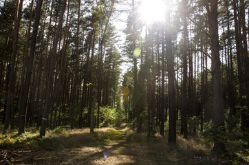 Rays of the sun in a pine forest