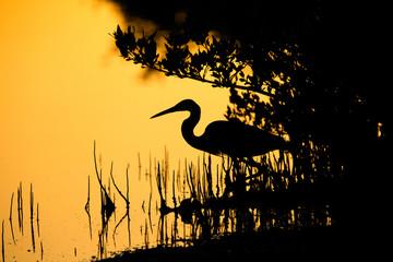 Silhouette of a western reef heron fishing