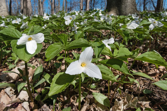 White and Green Trillium Flowers