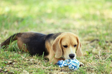 Beagle dog with toy in the park