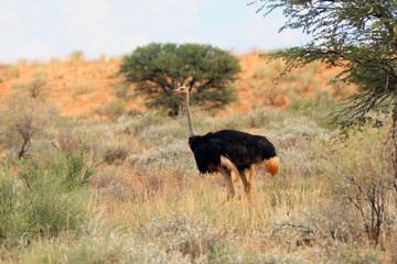 The ostrich or common ostrich (Struthio camelus) in the desert. Ostrich in backlight.