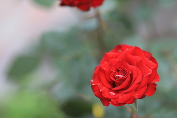 Bright, red rose