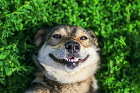 beautiful satisfied dog lying on the lush green grass in the summer Park smiling funny and enjoying the weather and the sun