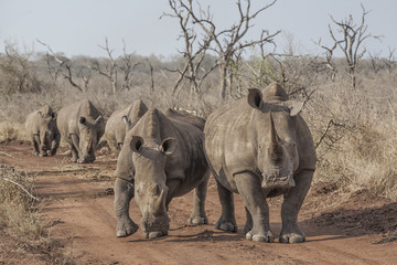rhinos on the road