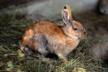 Multicolor domestic pygmy rabbit (bunny)