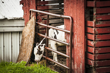 A black and white Holstein calf sticks it's head through a fence on a corn crib, trying to reach the green grass.