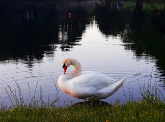 The swan on a lake in the evening