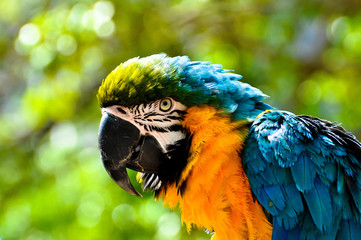 Macaw Head-shot With Green Forest Background