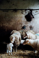 Sheep and lamb in a barn
