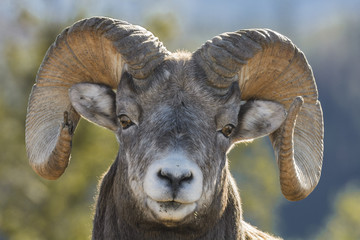 Portrait of Bighorn Sheep,  Alberta, Canada