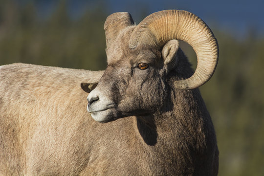 Rocky Mountain Bighorn Ram (Ovis canadensis) close up portrait, Jasper National Park, Alberta, Canada