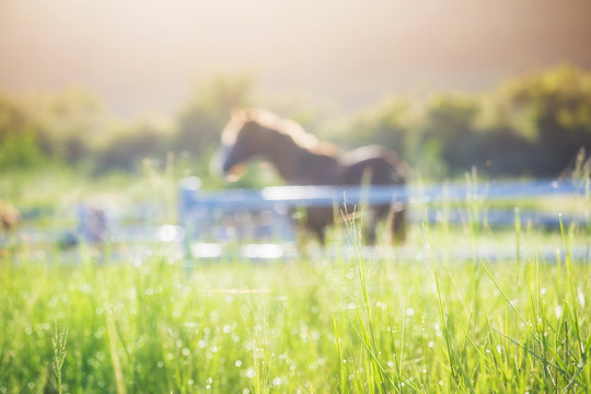 Green meadow and Grasses with morning dew at foreground and horses in stable as background with gold sunlight