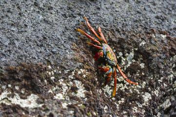 Sally Lightfoot Crab (Grapsus grapsus), Floreana Island, Galapagos Islands, UNESCO World Heritage Site, Ecuador, South America