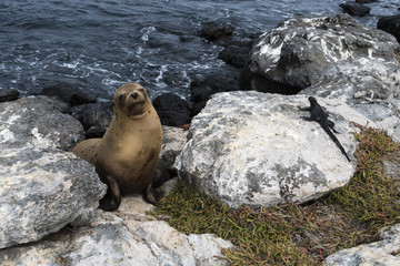 Galapagos sea lion (Zalophus californianus wollebaeki) and marine iguana (Amblyrhynchus cristatu)