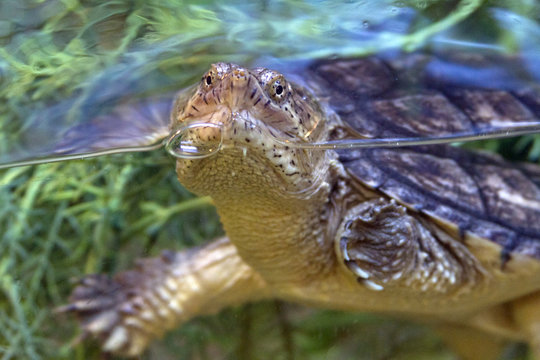 Expressive Snapping Turtle