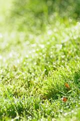 朝露に輝く芝