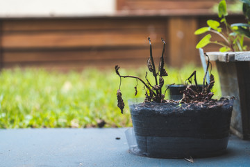 Dead plant in pot on concrete with grass and wood background