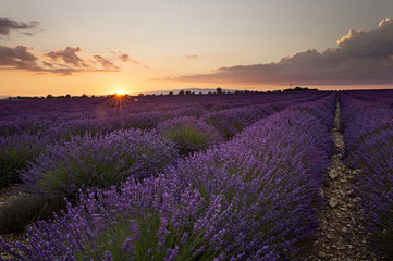 Sunset over Lavender in Provonce