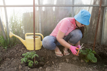 Slender young peasant woman in striped blouse, sunglasses and jeans, looks after tomatoes and cucumbers in greenhouse.