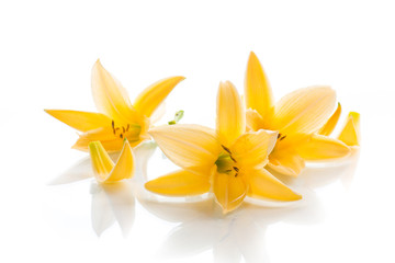 Yellow Lily flowers and buds