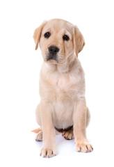 puppy labrador retriever