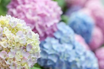 selective focus macro colorful blooming hydrangea