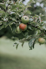 Healthy apples ripening on a tree in an orchard