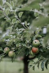 Green apples ripening on the branch of a tree
