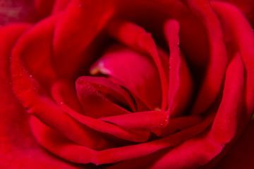 Background macro red rose