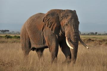 Kenya. Elephant on a morning walk through the savannah