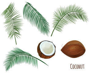 Set tropical plants: brown coconuts (whole and half of nut), green leaves of coconut palm on white background, digital draw greenery, watercolor style. Realistic vector, botanical illustration