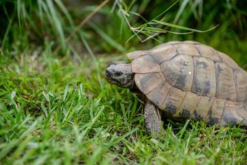 Petite tortue de terre dans l'herbe du jardin