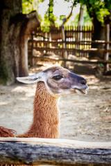 llama in enclosure