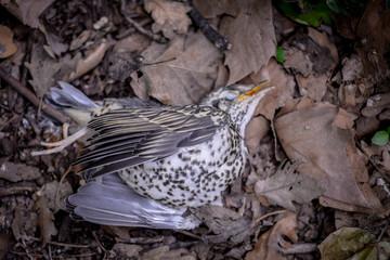 Un petit oiseau, une grive étendue morte dans les bois