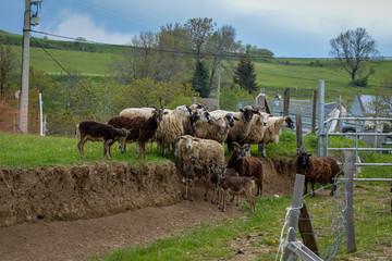 Troupeau de moutons et de biquettes des montagnes en Auvergne