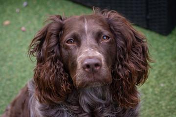 portrait d'un chien Springer anglais au pellage roux et aux yeux marrons