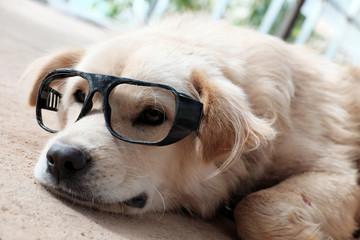 White male dog wear glasses