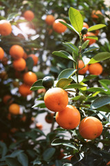 kumquat tree with lens flare