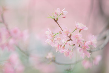 Cherry blossom flowers , sakura flowers in pink background vintage style