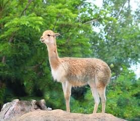 vigogne vu dans son enclos au zoo en vendée