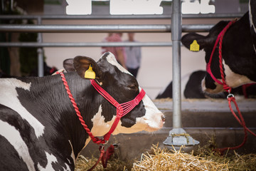 Holstein Cattle in a barn.