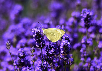Yellow butterfly on lavender flower