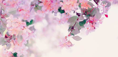 Pink flowers blossom in spring. Floral nature background with copy space