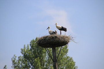 Storks with a chick in a nest on a pole in Capelle aan den IJssel in the Netherlands.